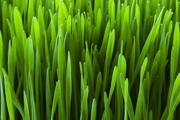 diabetes and wheatgrass