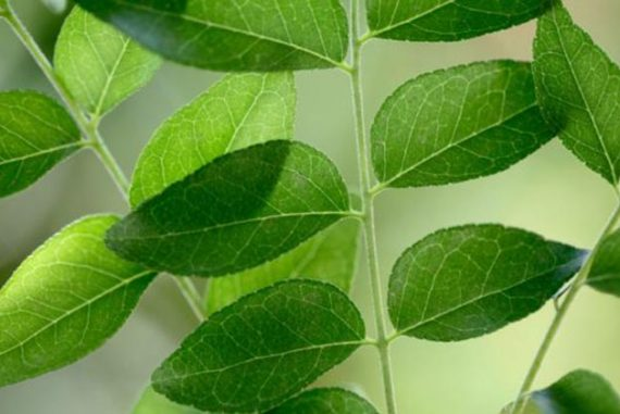 curry leaves for diabetes