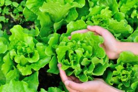 blood-sugar-control-lettuce