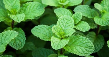 blood sugar control - peppermint