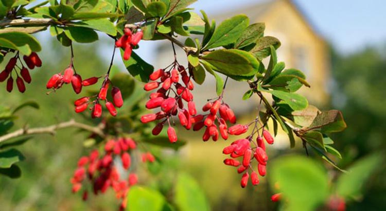 Image result for WHAT IS BERBERINE?